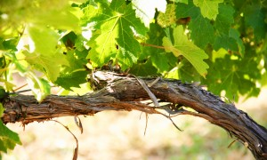 Agricultura biodinámica, la búsqueda del orden espacio-viña (I)