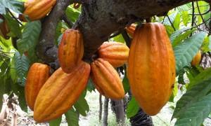El origen del cacao