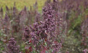 La fiebre de la quinoa