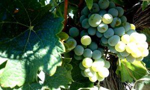 Los 50 mejores Sauvignon Blanc del mundo