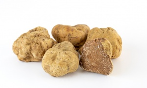 White truffle, the Italian queen