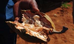 Baobab, el superalimento de África