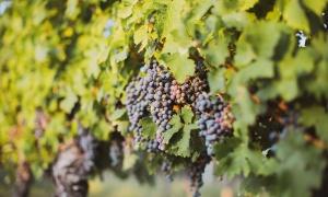 Las nuevas uvas de Burdeos