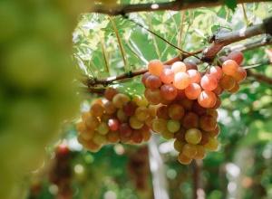 Los vinos blancos de Japón