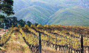 Piwi, las uvas y los vinos del futuro