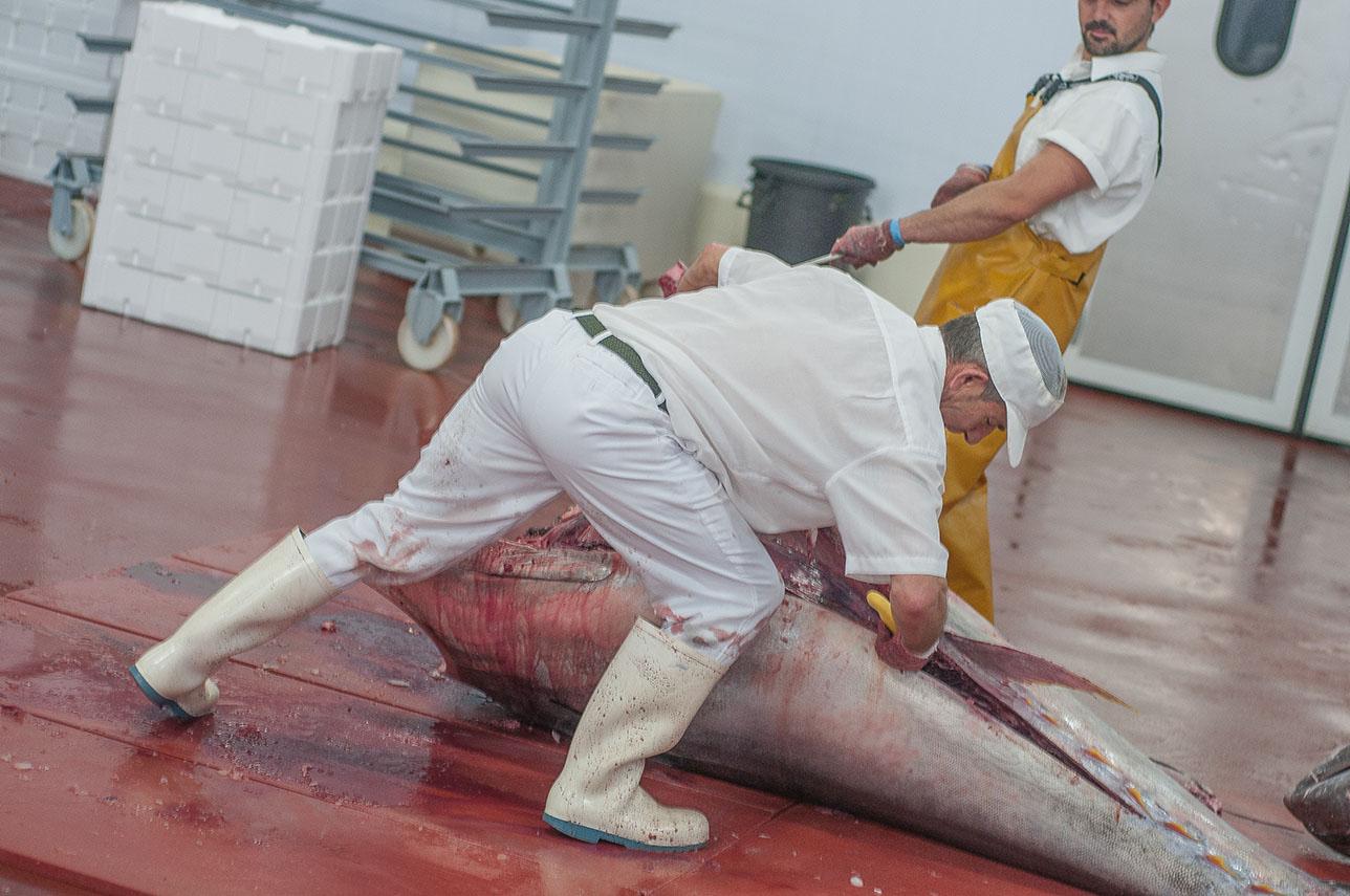 Ronqueo del atún